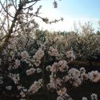 Almond flowers in full bloom